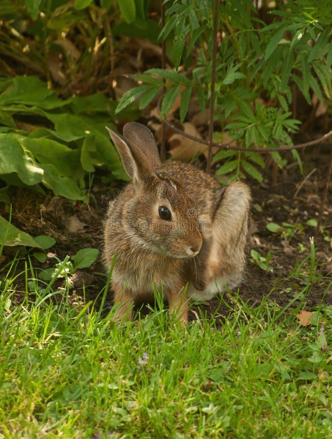 Het katoenstaartkonijnkonijn van de baby stock afbeelding