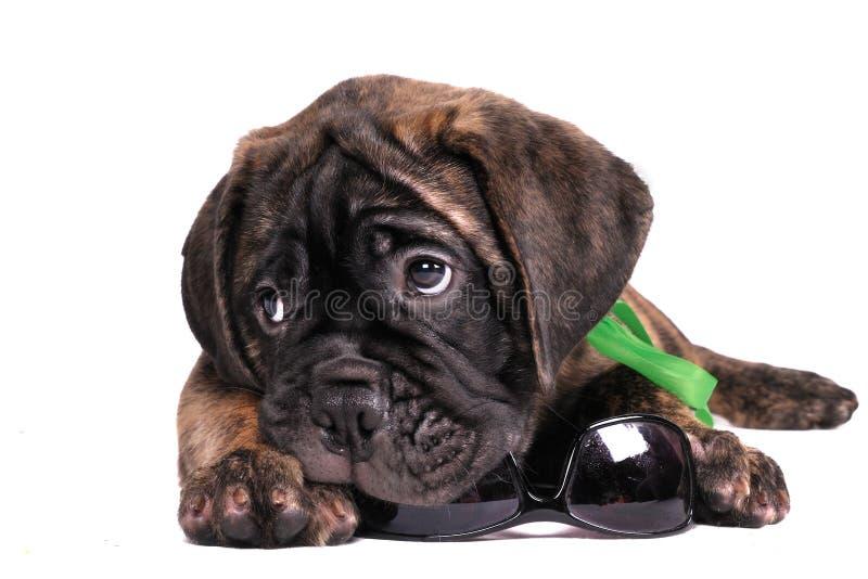 Het kauwen van het puppy zonnebril stock foto