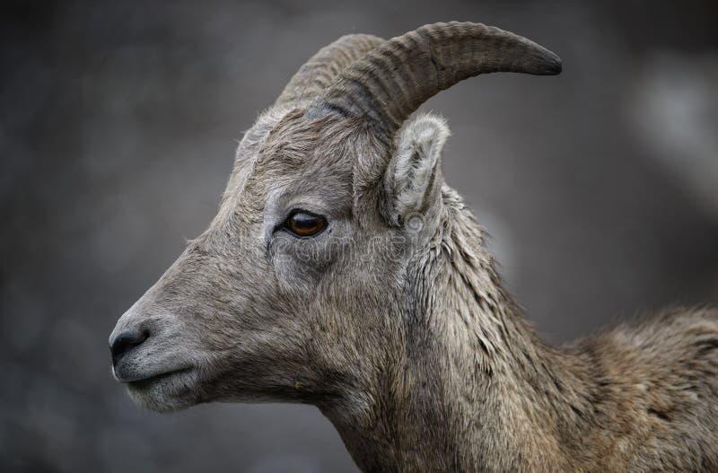 Het kereltje van Bighornschapen royalty-vrije stock foto's