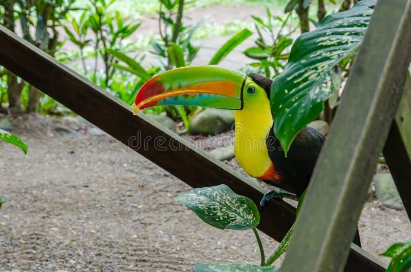 Het kiel gefactureerde voedsel van de toekanholding in Costa Rica stock foto