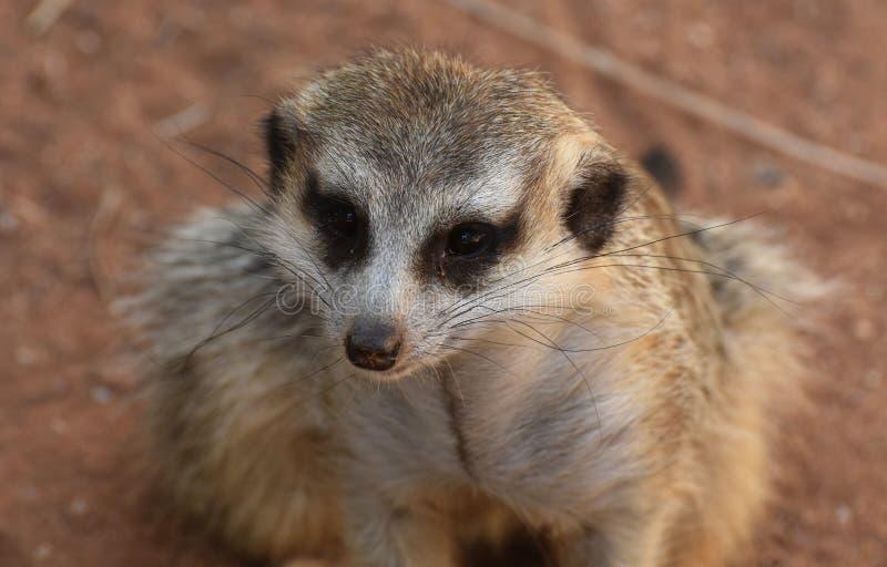 Het kijken direct in het Gezicht van een Kleine Meerkat royalty-vrije stock afbeelding