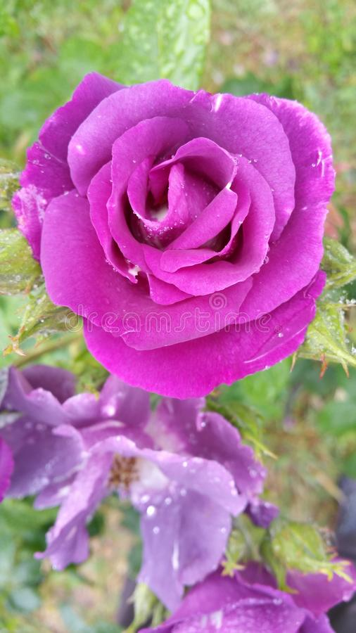 Het kijken neer in hoofd van geparfumeerde purpere roze nam hoofd toe royalty-vrije stock afbeeldingen