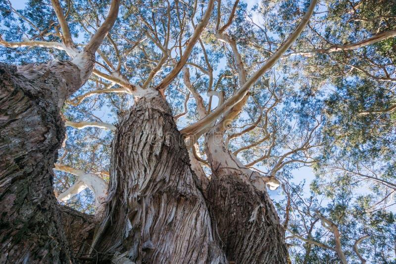 Het kijken omhoog aan de kroon van een oude Eucalyptusboom; stock afbeelding