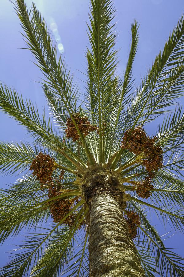 Het kijken omhoog aan een kleurrijke boom van palmdata en rode vruchten die op lang in diepe blauwe hemel in Sicilië bereiken royalty-vrije stock foto's