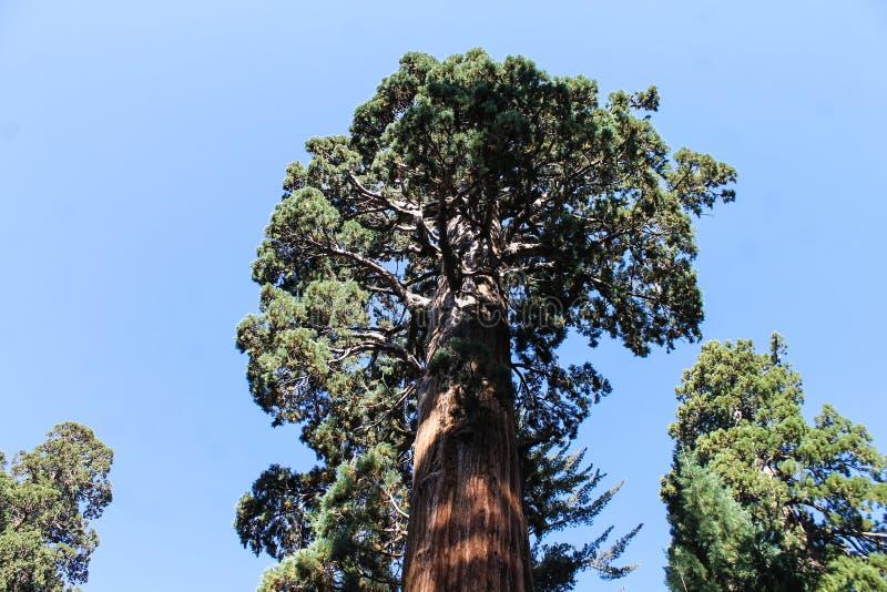 Het kijken omhoog aan Reuzesequoia stock foto's
