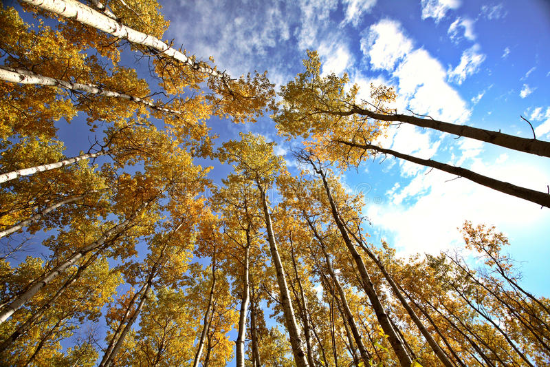 Het kijken omhoog door de bomen van de Esp in daling stock afbeelding