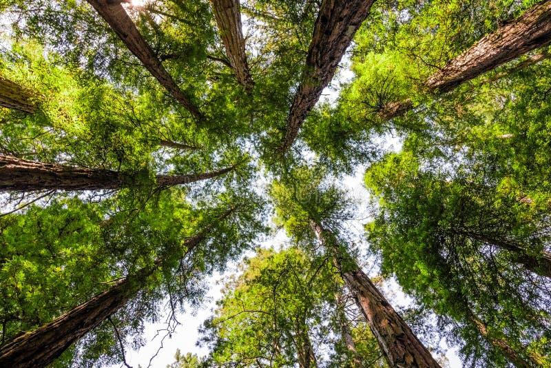 Het kijken omhoog in een Bos van de Californische sequoia royalty-vrije stock fotografie