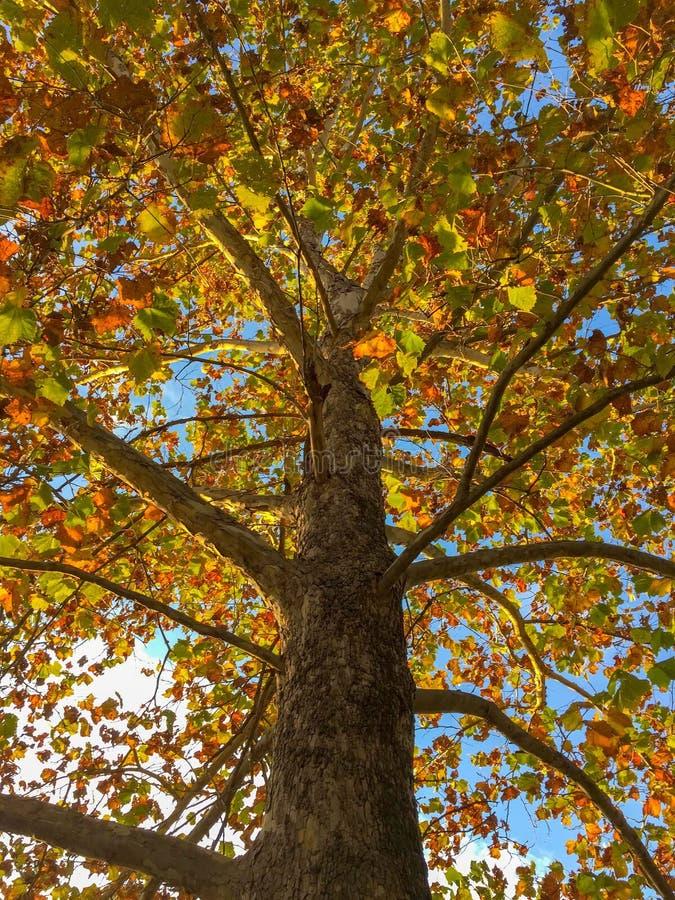 Het kijken omhoog in een oude sycomoorboom in de herfst stock fotografie