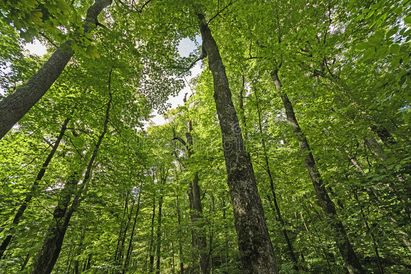 Het kijken omhoog in het Bos stock afbeeldingen