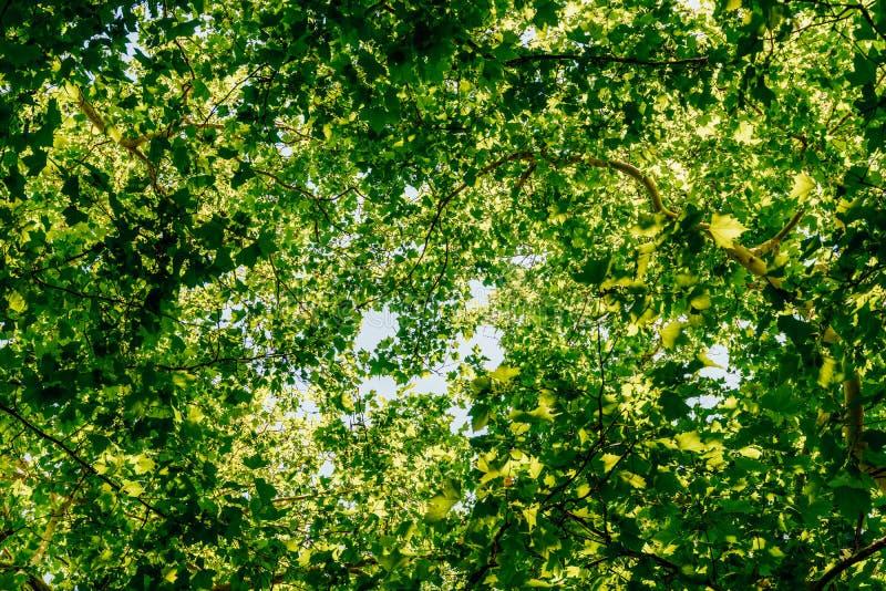 Het kijken omhoog naar Boomtakken en Bladeren op de Zomerhemel royalty-vrije stock afbeelding