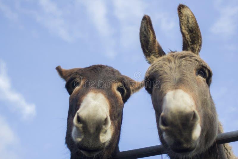Het kijken omhoog voor twee ezelsportretten stock foto