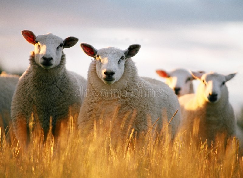 Het kijken van schapen royalty-vrije stock afbeelding