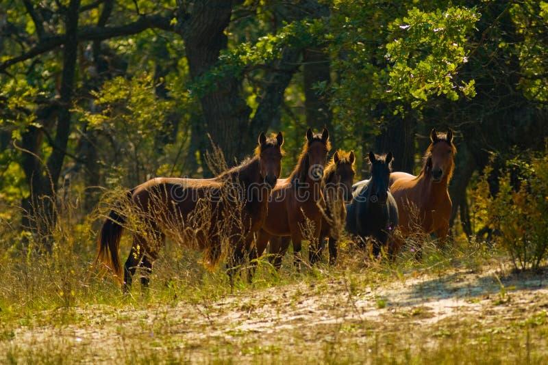 Het kijken van wild paarden royalty-vrije stock afbeelding