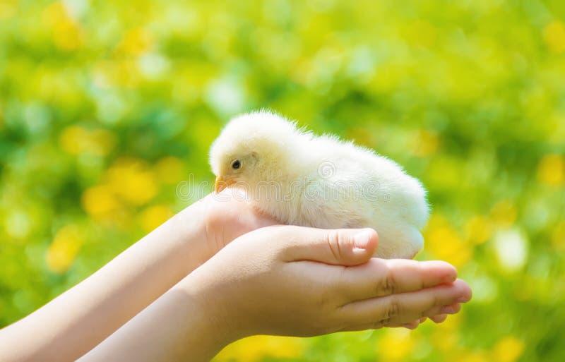 Het kind houdt een kip in zijn handen Selectieve nadruk stock afbeeldingen