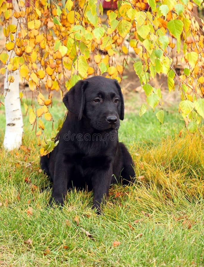 Het kleine aardige zwarte puppy van Labrador in de herfst stock afbeelding