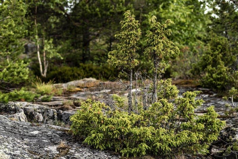 Het kleine altijdgroene jeneverbessenjuniperus groeien op een rots, tegen een achtergrond van bomen stock foto's