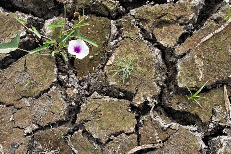 Het kleine bloeminstallatie groeien in droge grond stock afbeelding
