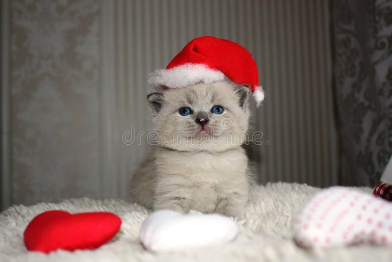 Het kleine Britse katje stellen stock afbeelding