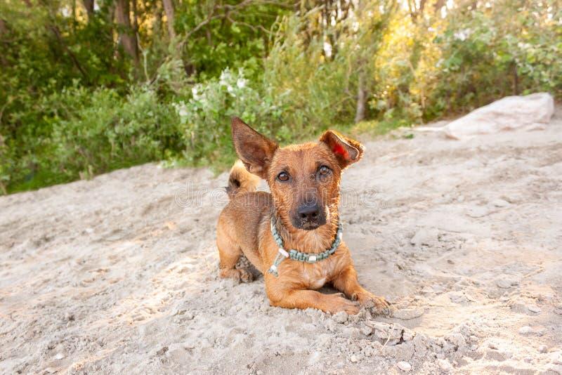 Het kleine gemengde rassenhond spelen bij het rivierstrand in het zand met zijn speelgoed Hond, de zomerlevensstijl en vakantieco royalty-vrije stock afbeeldingen