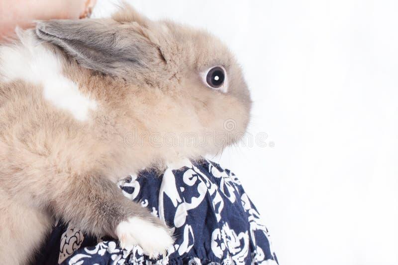 Het kleine, grappige Nederlandse decoratieve konijn zit op de schouder van een houdende van en gevende stewardess royalty-vrije stock afbeelding
