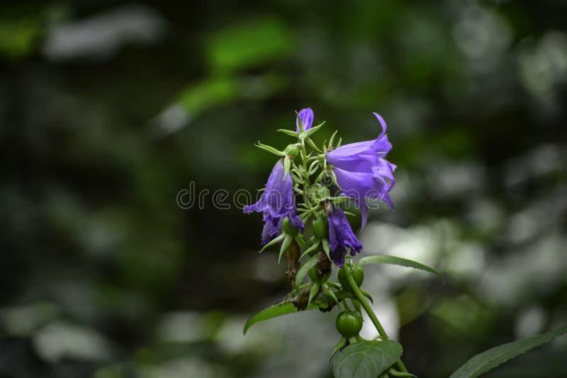 Het kleine grasklokje ( klokje rotundifolia) groeit in een bos royalty-vrije stock afbeelding