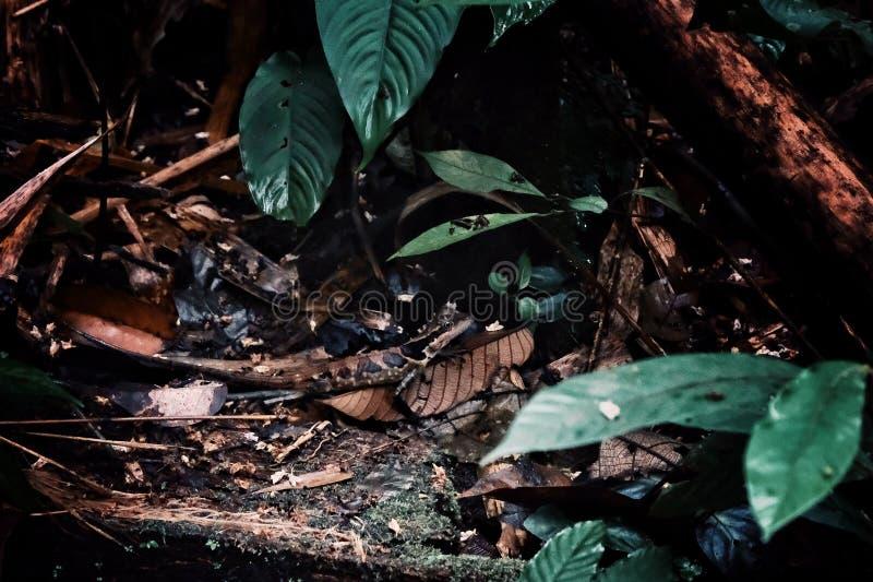 Het kleine hagedis verbergen ter plaatse doorbladert in het midden van het regenwoud van Borneo stock foto's