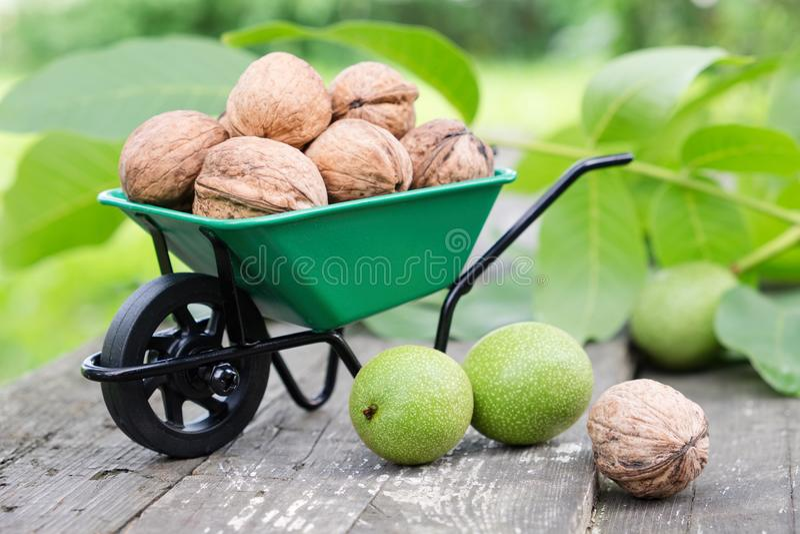 Het kleine hoogtepunt van de tuinkruiwagen van okkernoten, groene noten en bladeren in tuin stock afbeeldingen