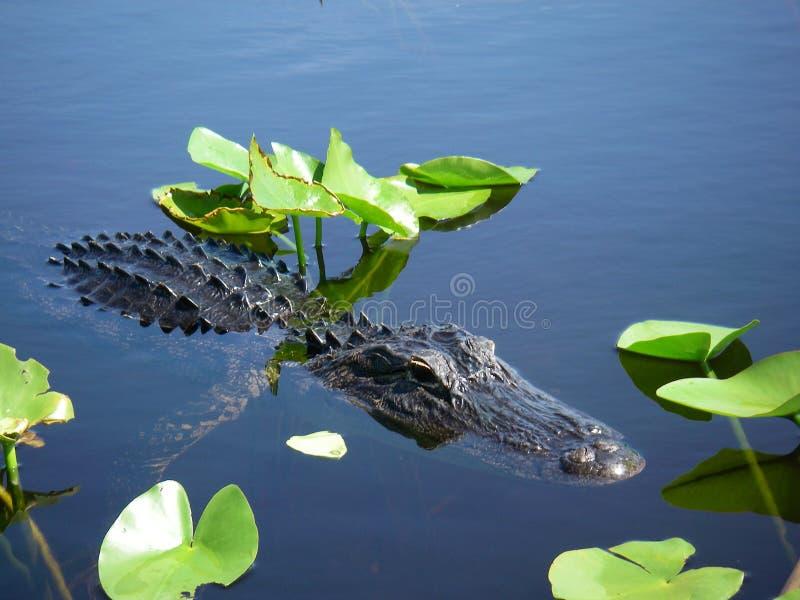 Het kleine krokodille zwemmen in Florida Everglades royalty-vrije stock foto