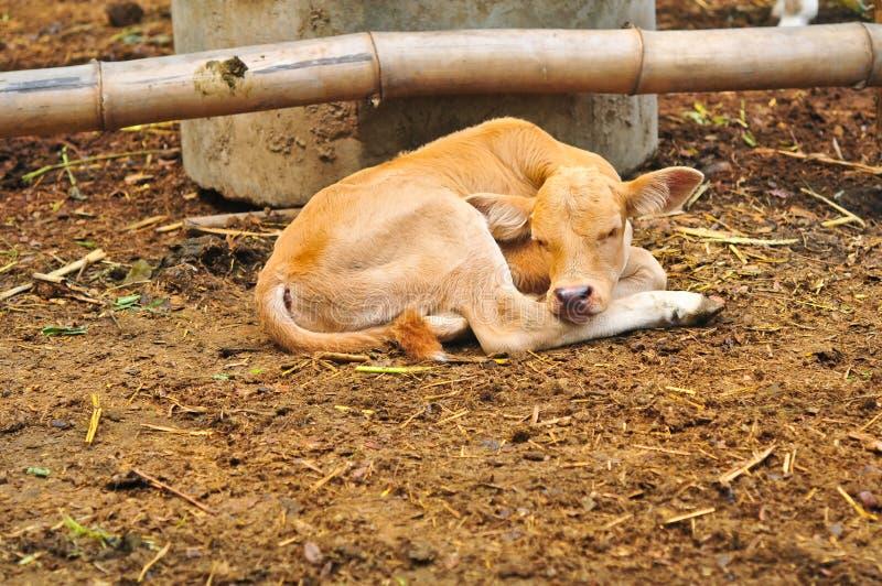 Het kleine leuke Kalf slaapt in het landbouwbedrijf royalty-vrije stock foto