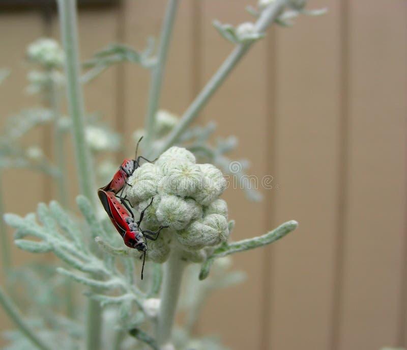 Het kleine Milkweed-Insecten Koppelen stock fotografie