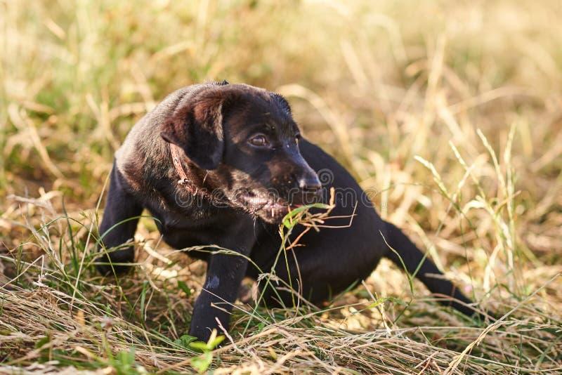 Het kleine puppy van Labrador met een bosje die van gras in zijn mond, op de grond zitten royalty-vrije stock foto