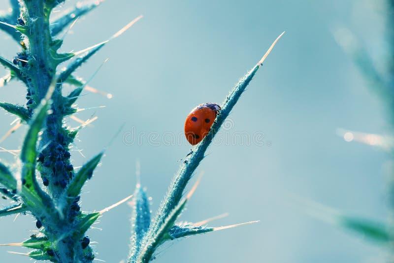 Het kleine rode lieveheersbeestje die in mijn tuin leven is mooi stock foto's