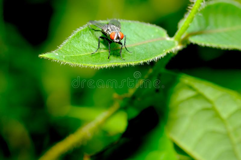 Het kleine rode verblijf van de oogvlieg op groen blad en kijkt vooruit met groene en donkere achtergrond in het bos royalty-vrije stock foto