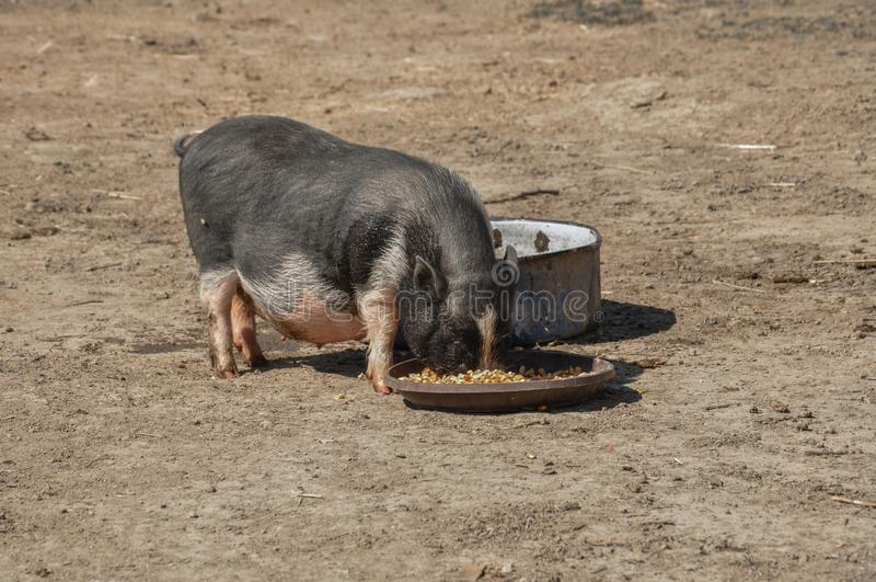 Het kleine varken eet voedsel in de yard royalty-vrije stock fotografie