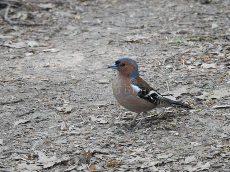 Het kleine vogel zingen in het hout stock foto's