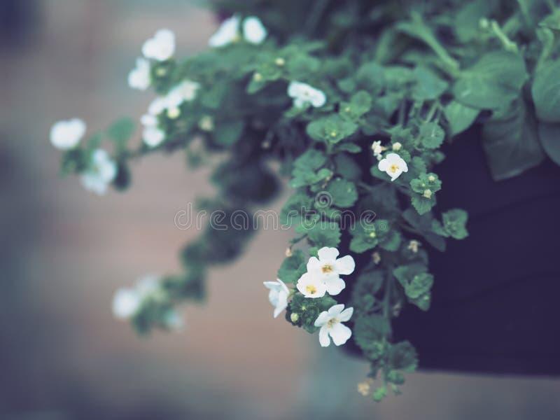 Het kleine, witte bloemen bloeien stock afbeelding