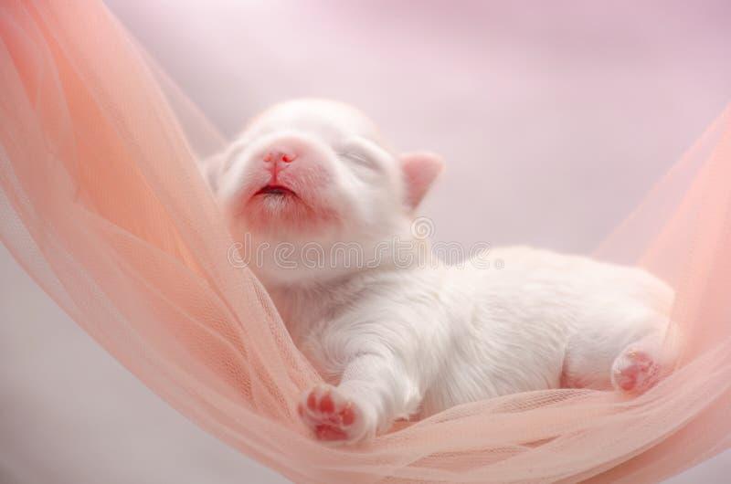 Het kleine witte Maltese puppy slapen stock foto