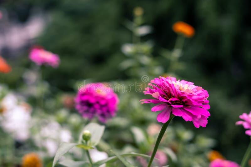 Het kleurrijke bloeien Zinnia in tuin royalty-vrije stock afbeeldingen