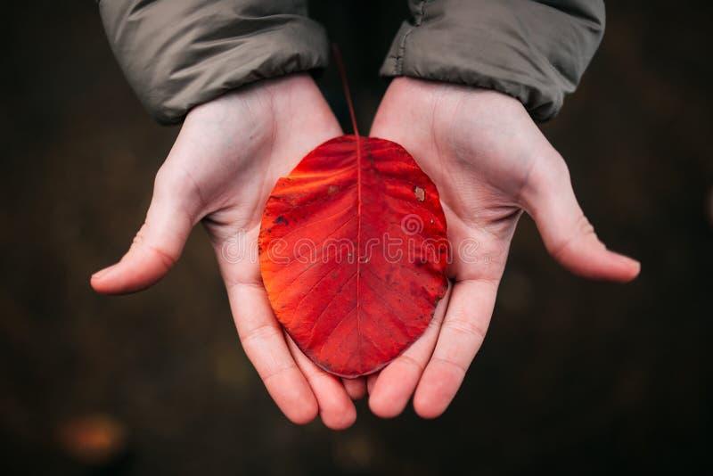 Het kleurrijke de herfstblad in vrouwen` s handen, sluit omhoog foto stock fotografie
