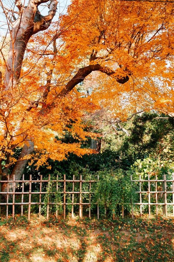 Het kleurrijke gebladerte van de Herfstbladeren met bamboeomheining, Sakura-stad, royalty-vrije stock foto