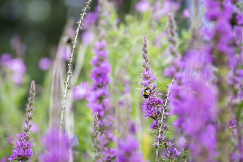 Het kleurrijke hoogtepunt van de de zomerweide van violette bloemen royalty-vrije stock afbeelding