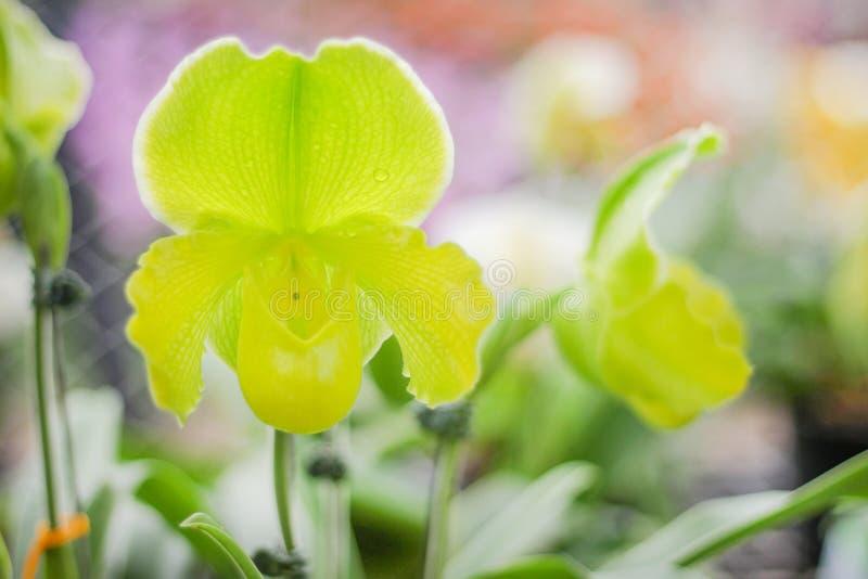 Het kleurrijke natuurlijke sierpatroon dat van bloemen groene paphiopedilum met waterdaling in tuin bloeit stock afbeelding