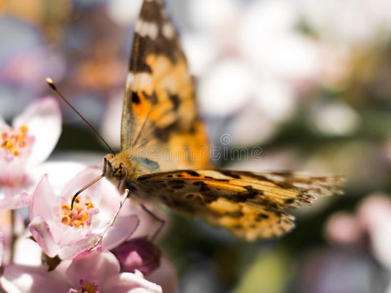 Het kleurrijke vlinder voeden op een roze bloem royalty-vrije stock foto
