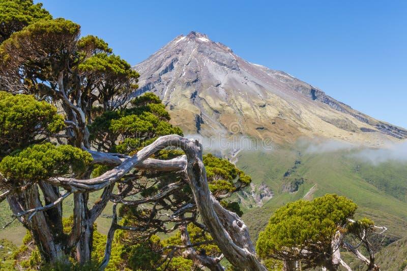 Het knoestige pijnboomboom groeien in het Nationale Park van Egmont met Onderstel Taranaki op achtergrond stock fotografie
