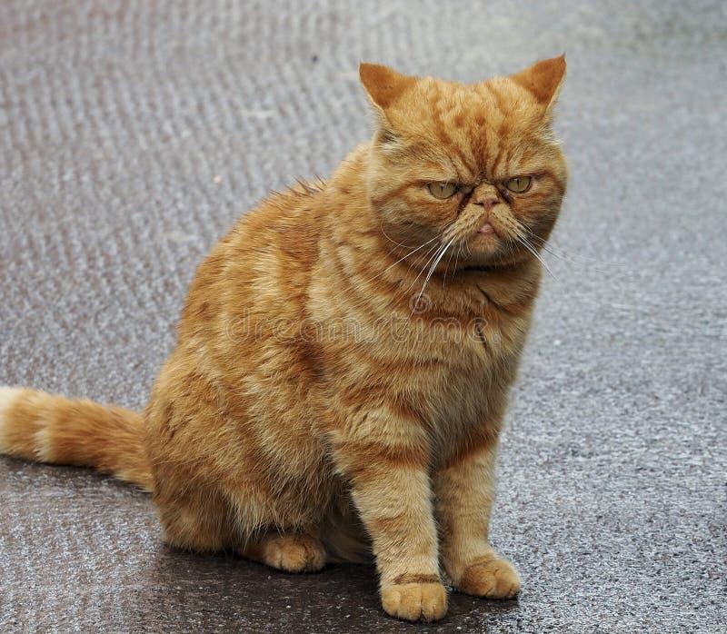 Het knorrige Kijken Oranje Cat In Galway Ireland stock foto