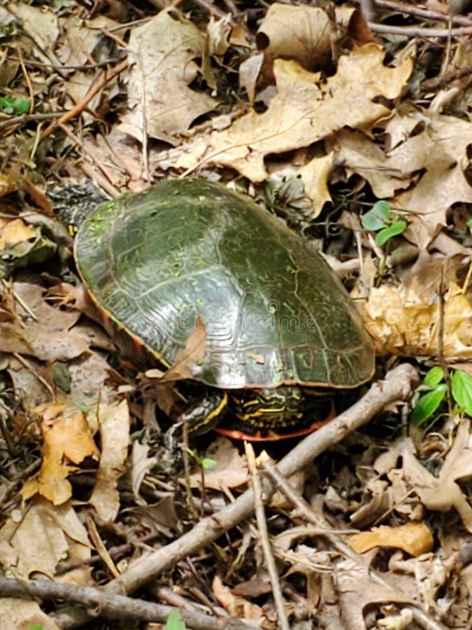 Het koelen schildpad stock foto