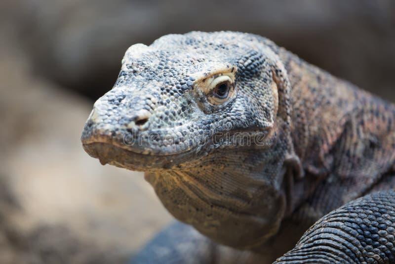 Het Komodo-komodoensis dichte omhooggaande portret van draakvaranus Species van hagedis in de Indonesische eilanden wordt gevonde stock fotografie