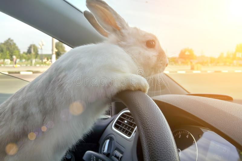 Het konijn drijft een auto, is hij bij de bestuurderszetel achter het stuurwiel Hazenbestuurder Witte Paashaasritten om giften te royalty-vrije stock fotografie