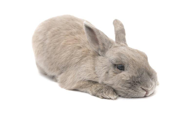 Het konijn is droevige en leuke die leugens op witte achtergrond worden geïsoleerd royalty-vrije stock foto's