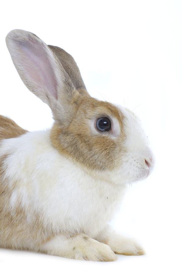 Het konijn van de baby stock fotografie